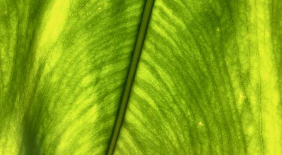 Leaf backlit CU