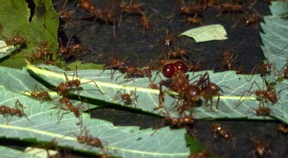 Leaf cutter ant display Montshire