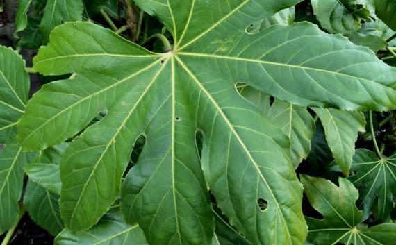 Leaf de green confusion