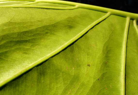 leaf_large_detail_sidelit.jpg