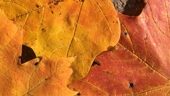 Leaf senescence