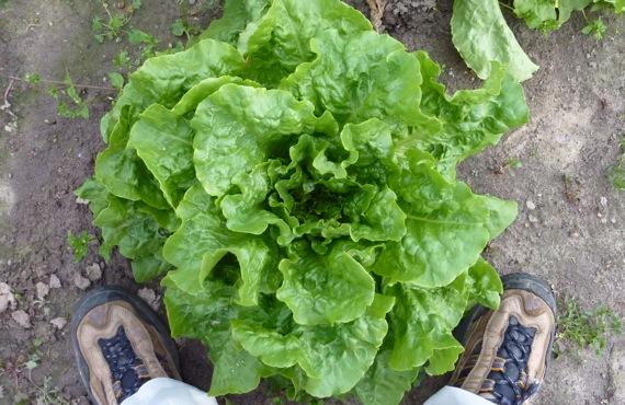 lettuce_to_scale.jpg