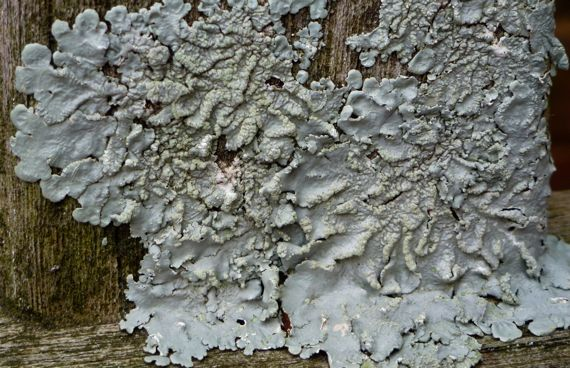 Lichen on wooden bench large