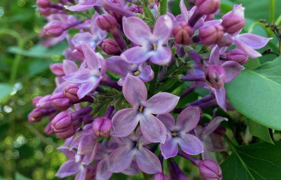 Lilac CU