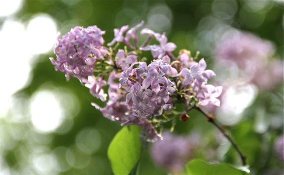 Lilac bloom stem