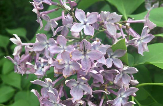 Lilac w midge