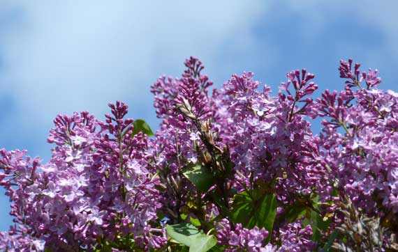 lilacs_farm_stand.jpg