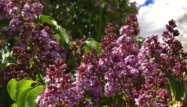 Lilacs of Cerrillos