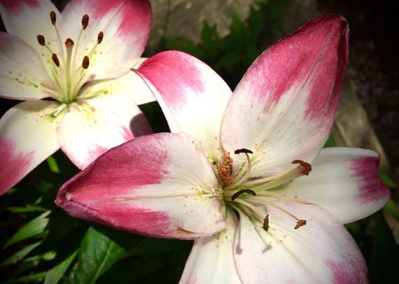 Lilies of summer