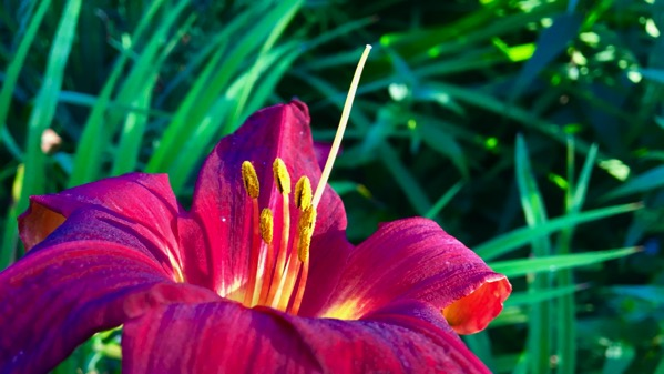Lit lily