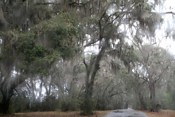 live_oaks_sp_moss_in_rain.jpg