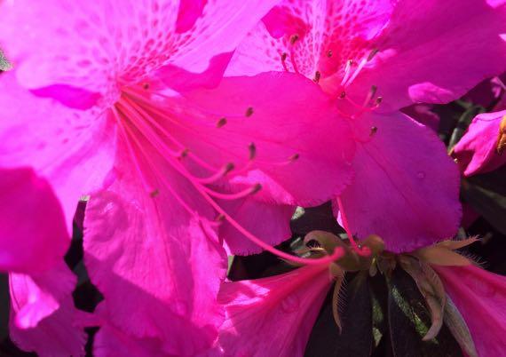 Lively pink azalea
