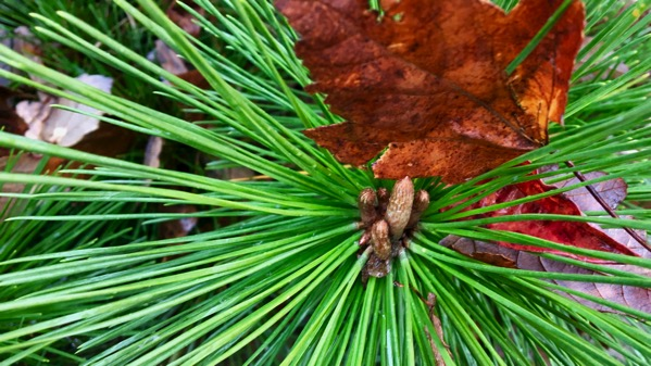 Longleaf and leaf