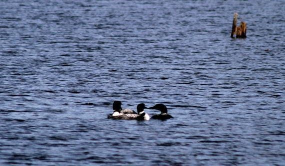 loon_trio_floating.jpg