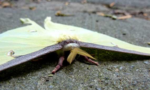 luna_moth_grounded.jpg