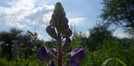 Lupine backlit