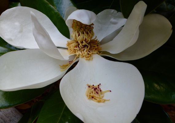 Magnolia bloom side with flower parts