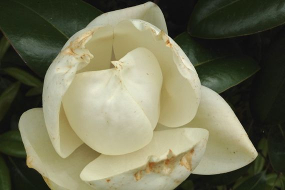 Magnolia brown tinged 2012