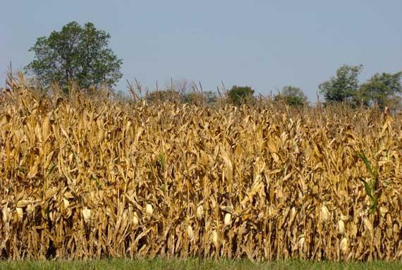 maize_autumnal.jpg