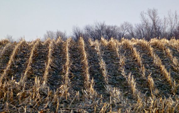 Maize stubble lateral morning light