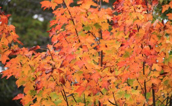 Maple color shrub
