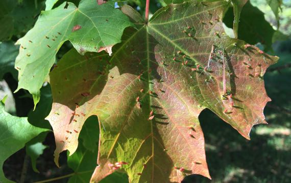 Maple leaf hosting