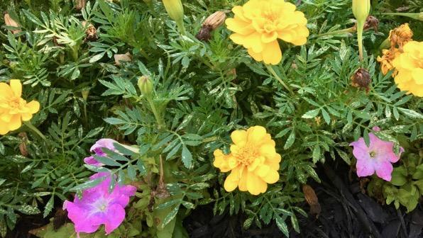Marigold petunia