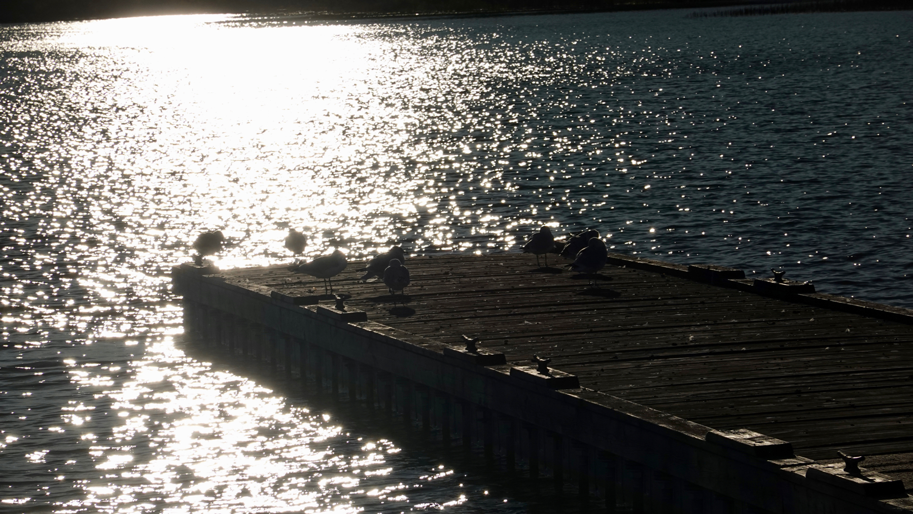 Marina gulls