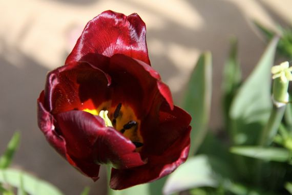 Maroon tulip w center