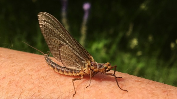 Mayfly visitor