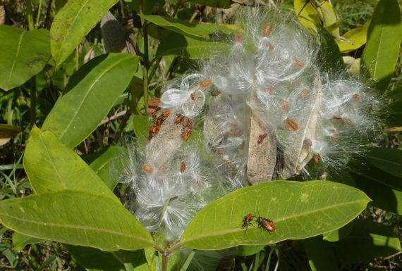 milkweed_sending_forth_seeds.jpg