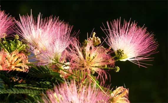 mimosa_blossoms_illuminated.jpg