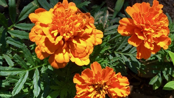 Mini marigolds