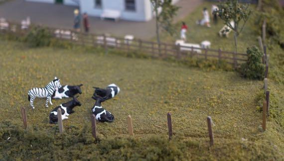 Miniature cattle zebra