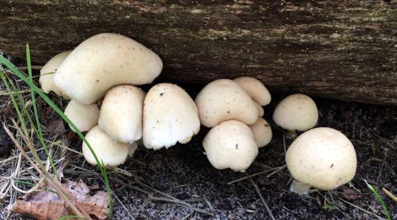 Mushrooms under logside