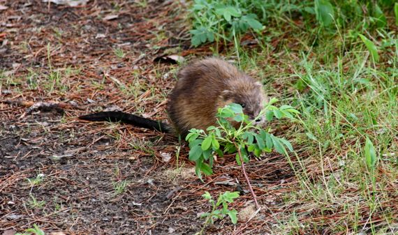 Muskrat cleverly disguised