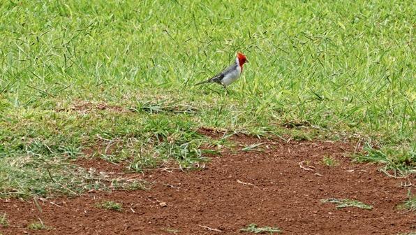 Mystery red bird