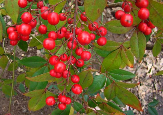 nandina_winter.jpg