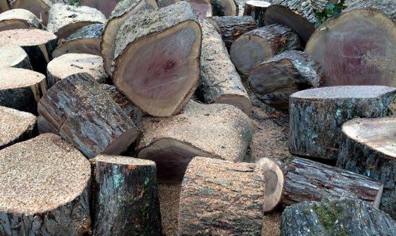 Oak trunk sections