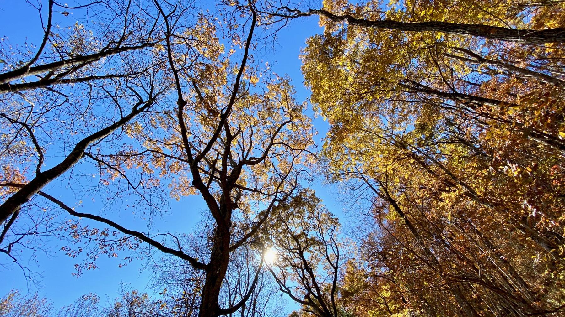 Oaks overhead