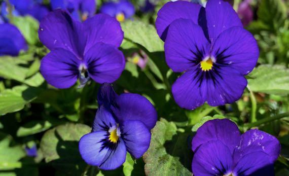 Off season violets