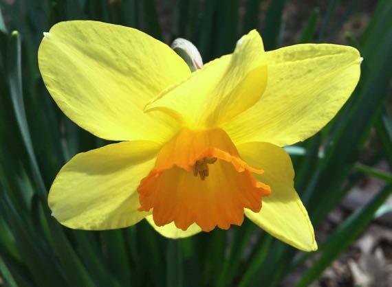 Old fashioned daffodil