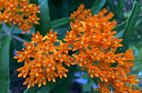 Orange flower bunches