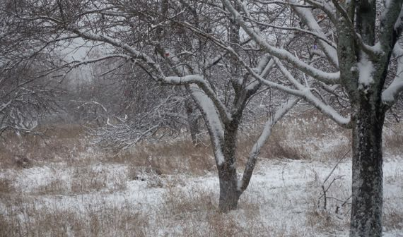 Orchard first snow
