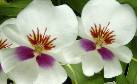 orchids_white_purple_CU.jpg