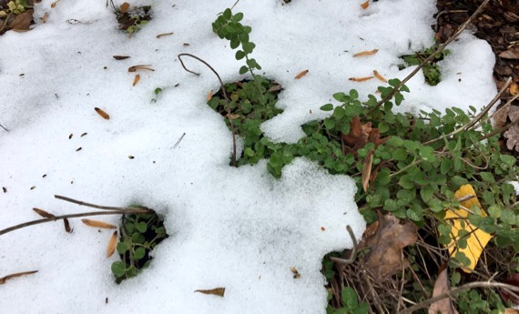 Oregano snow