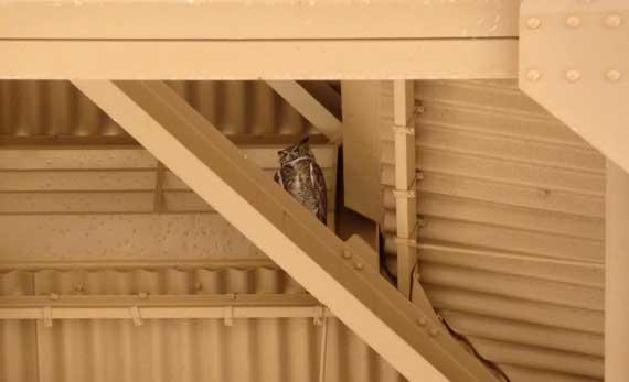 owl_great_horned_CasaG.jpg