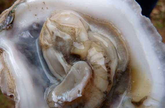 oyster_on_half_shell_from_TX.jpg