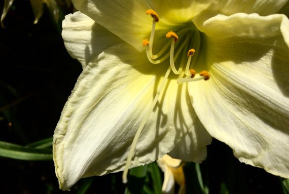 Pale lily