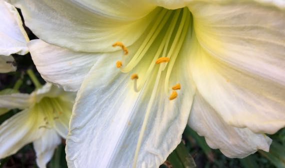 Pale yellow lily trumpet